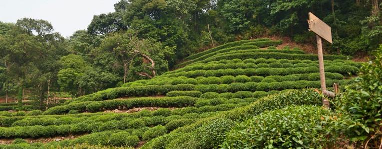 Plantation de thé à Meijiawu