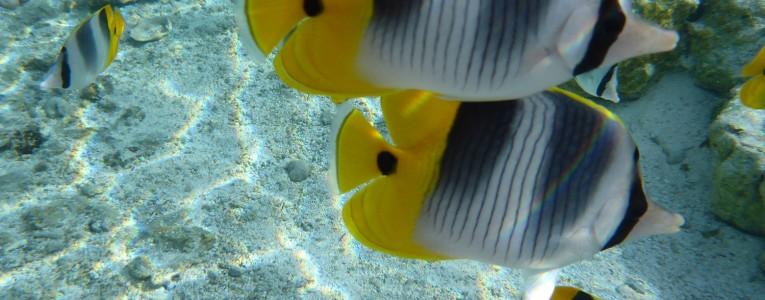 Poissons papillon au jardin de corail