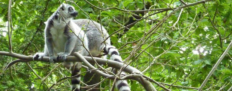 Lémurien à Fota Wildlife Park