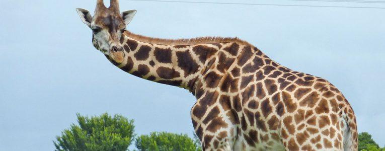 Girafe à Fota Wildlife Park