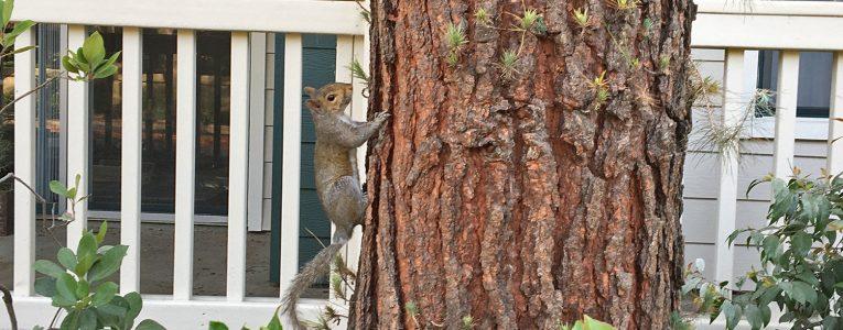 Ecureuil dans le quartier de River Oaks